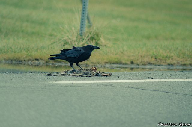 Scavenging crow