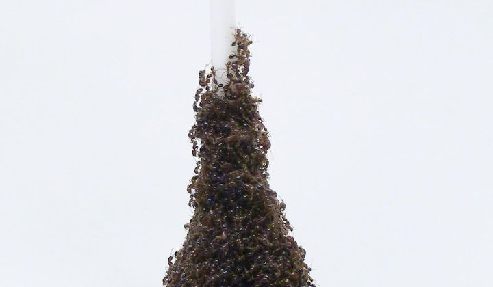 How Fire Ants Build Incredible Writhing Towers