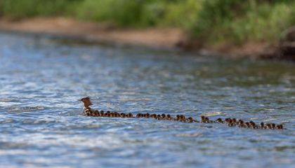 Why a Female Duck Was Spotted with a Huge Brood of 76 Ducklings