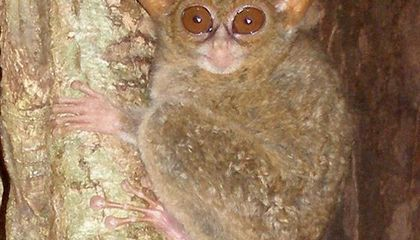Two New Species of Googly-Eyed Tarsiers Discovered in Indonesia