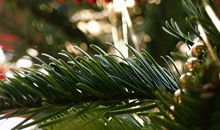 Old Christmas Trees Can Be Used to Clean Medical Equipment