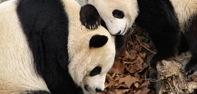 Giant pandas Mei Xiang and Tian Tian