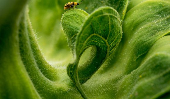 A solitary insect sits atop a curved leaf of a sunflower.