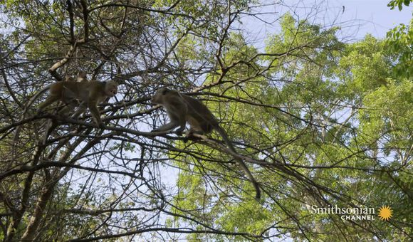 Preview thumbnail for video'A Rival Male Challenges the Alpha for Macaque Supremacy