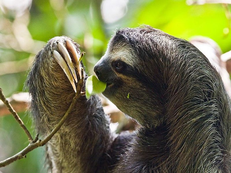 sloths don t just live in slow mo they can put their metabolism on