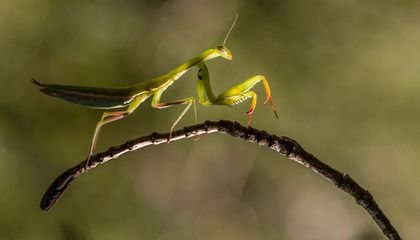 How Praying Mantises Can Jump Faster Than the Blink of an Eye