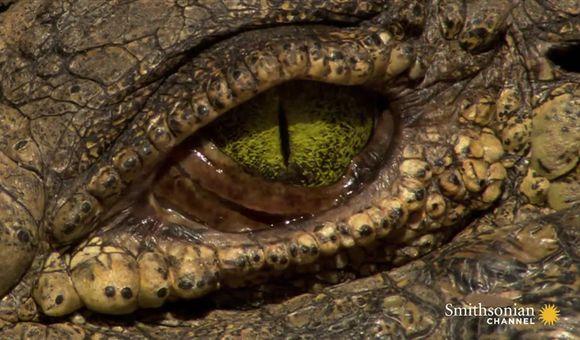 Preview thumbnail for video'Astounding Facts About Crocodile Eyes