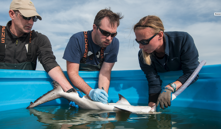 Matt Ogburn, Charles Bangley, and SERC intern Michelle Edwards (L to R) surgically implant an acoustic transmitter into a juvenile Bull Shark. Credit: Jay Fleming/SERC