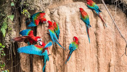 Macaws at a Clay Lick, Peru