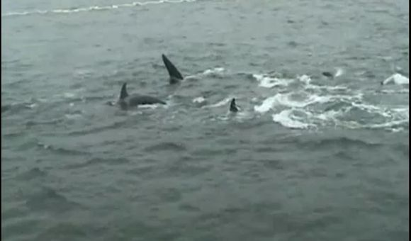 Preview thumbnail for video'Killer Whales in Kamchatka Waters