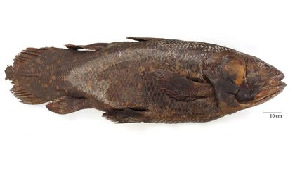 How the Smithsonian's Coelacanth Lost Its Brain and Got It Back Again
