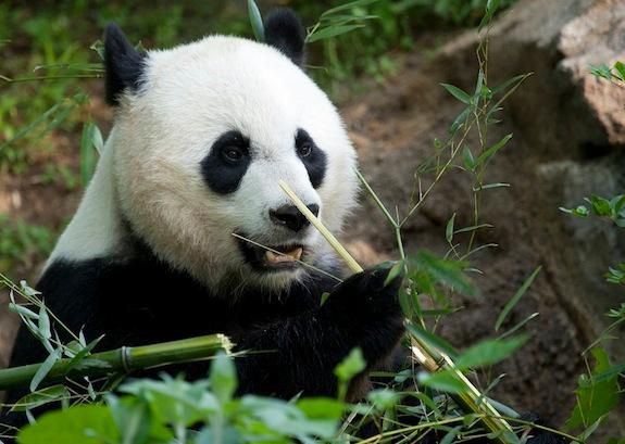 Mei Xiang is one happy mom after welcoming a new cub Sunday.