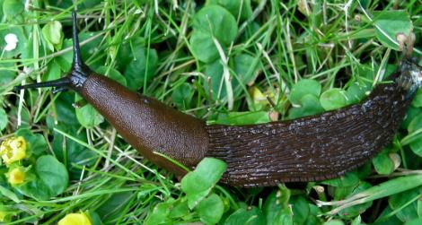 Earthworms In Your Garden May Help Prevent Invasive Slugs From
