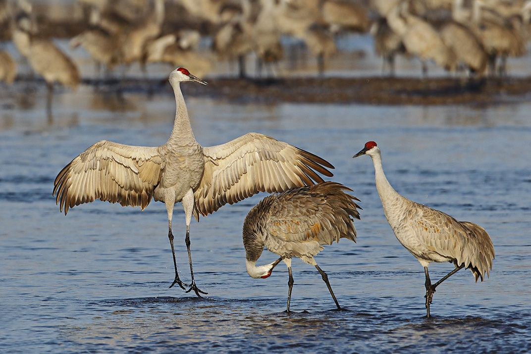 Sandhill Crane National Geographic >> 500 000 Cranes Are Headed For Nebraska In One Of Earth S Greatest