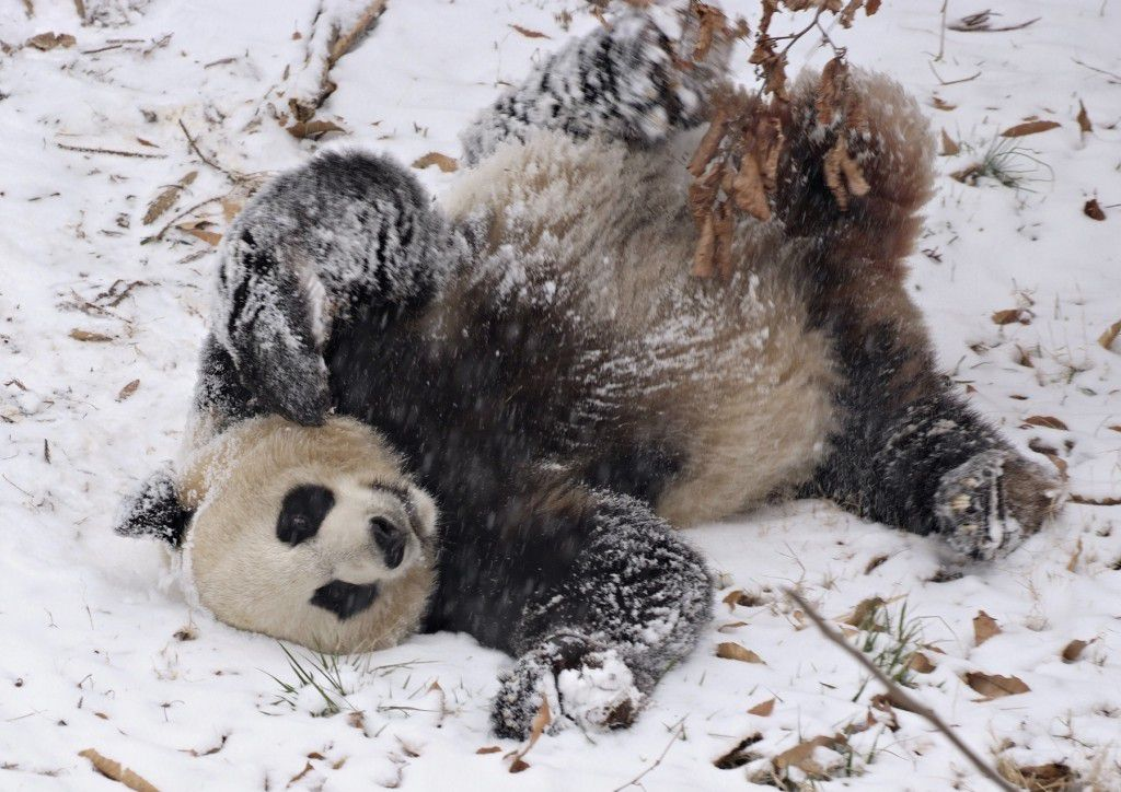 Mei Xiang plays in the snow!