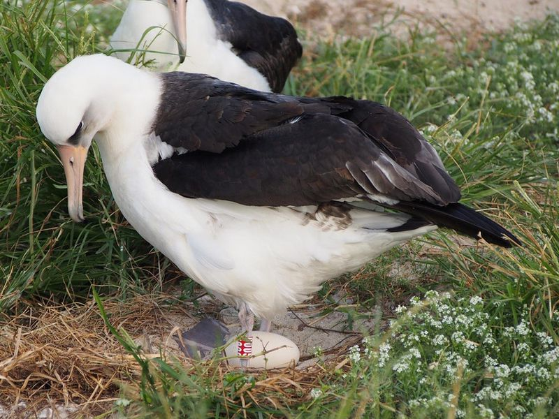 Wisdom The Oldest Known Albatross Is Expecting Again Smart News