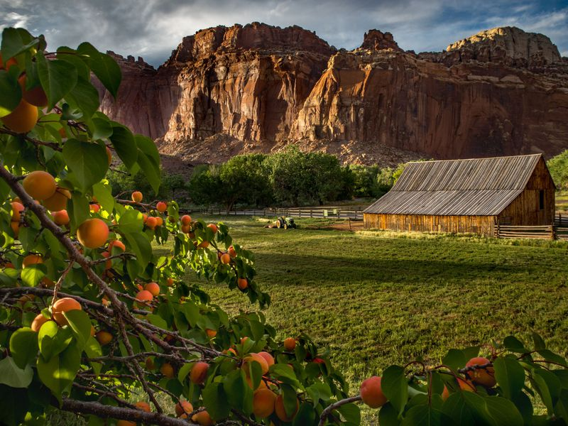 This photo shows the beautiful landscape of Capital Reef National Park with its amazing old orchards in foreground. Capital Reef has many old orchards of peaches, apples and apricots. The park lets you eat all you want if you eat it in the orchard.