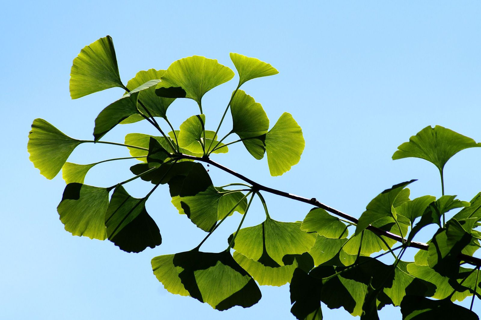 A Genetic Elixir Of Life Helps Millennia Old Ginkgo Trees Escape