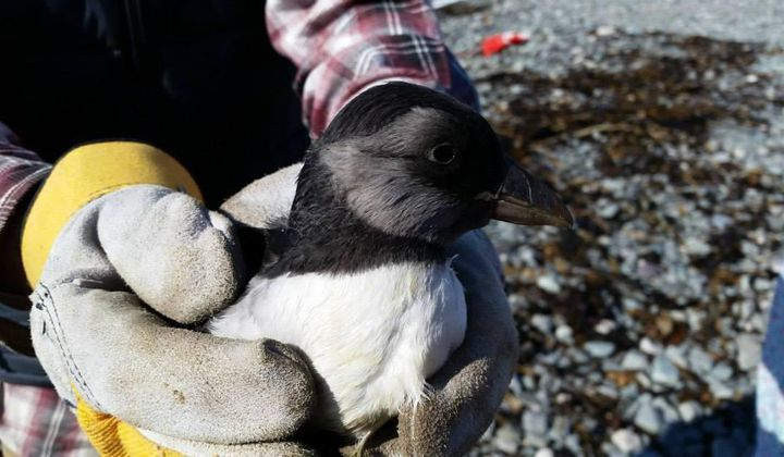 Newfoundland's Puffin Patrol Helps Save Baby Birds