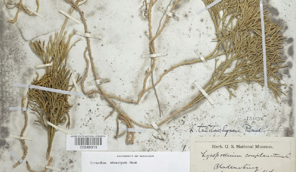 In the Smithsonian's digitized botanical archive, high-resolution images of specimens are paired with transcriptions of the handy ID tags affixed to them.