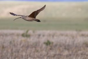 Hiding in Plain Sight: Tracking the Long-billed Curlew