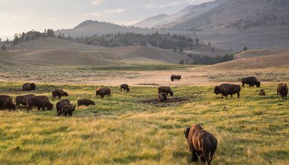 Yellowstone Bison Engineer an Endless Spring to Suit Their Grazing Needs