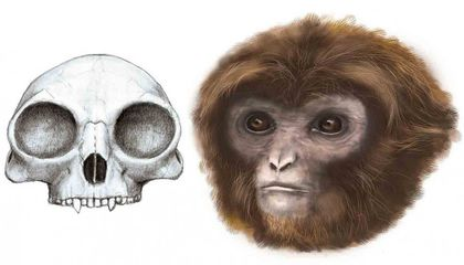 Tiny Ancient Skeleton Redefines the Split Between Monkeys and Apes