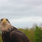 A bald eagle at the aviary in north somerset.
