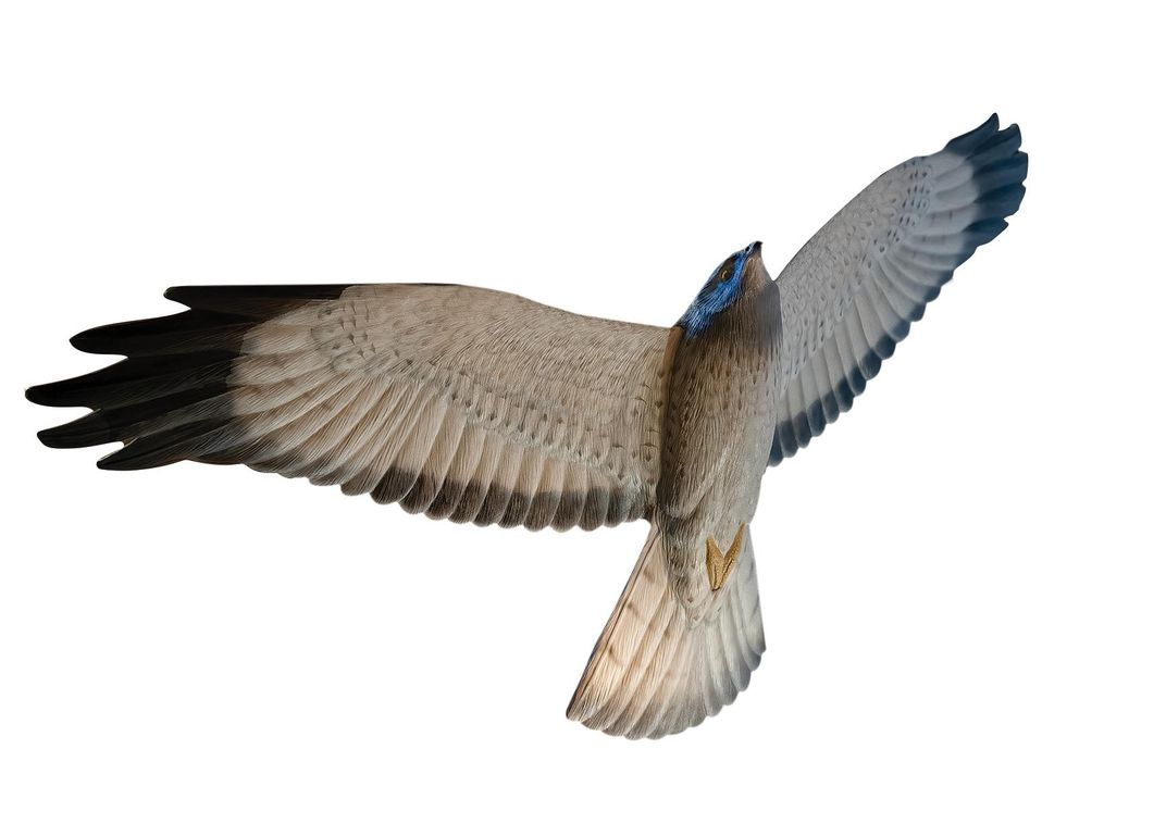 A carving of a northern harrier