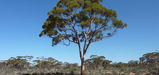Surprising-Science-Eucalyptus-trees