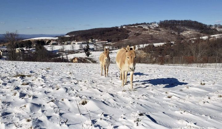 The Smithsonian Conservation Biology Institute's Persian onagers and their foals enjoyed 6 inches of snow in January.