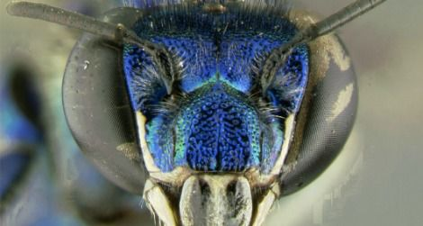 Most orchid bees, like this Euglossa paisa, have metallic coloration.