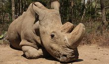 The World's Last Male Northern White Rhino Is Very Sick
