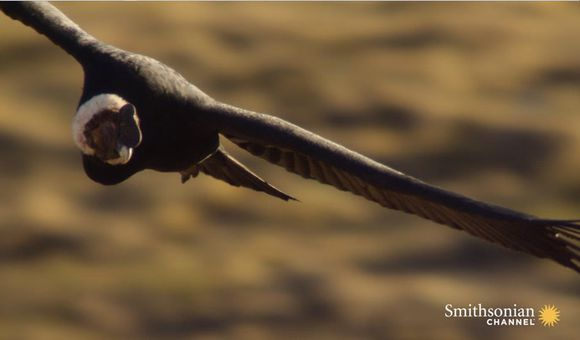 Preview thumbnail for video'These Condors Will Fight to Get a Seat at the Dinner Table