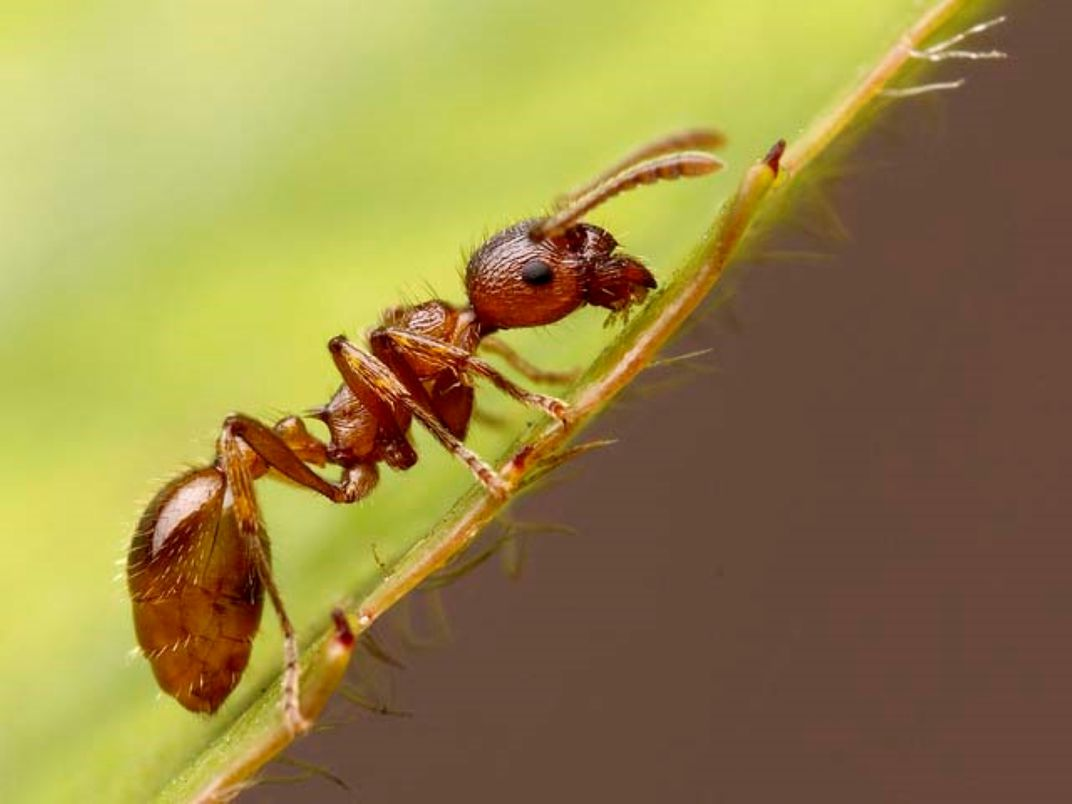 Lone fire ant