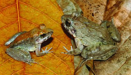 This Exotic Frog Skips the Eggs, Gives Birth to Live Tadpoles