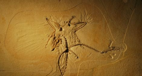 The Thermopolis specimen of Archaeopteryx at the Wyoming Dinosaur Center