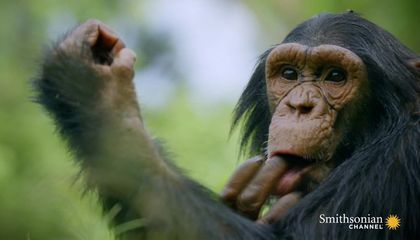 Like Humans, Chimps Learn Behavior From One Another
