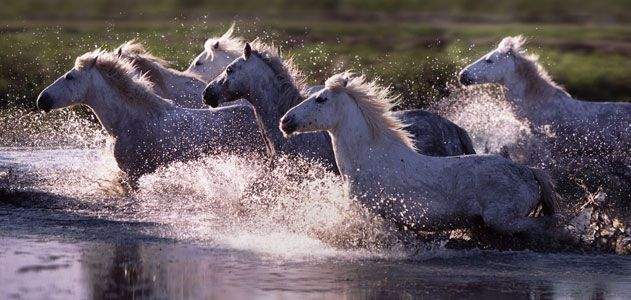 Camargue horses running through water France
