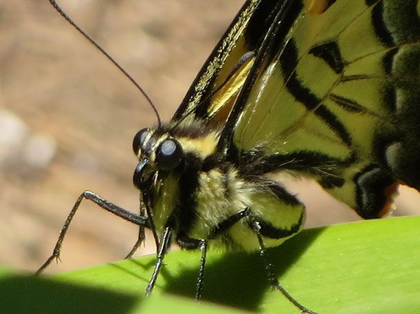 A close-up of a tiger swallowtail butterfly