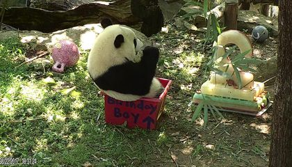 Bei Bei the Panda Cub Celebrates his Second Birthday in Style
