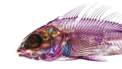The True Inner Beauty of Fishes