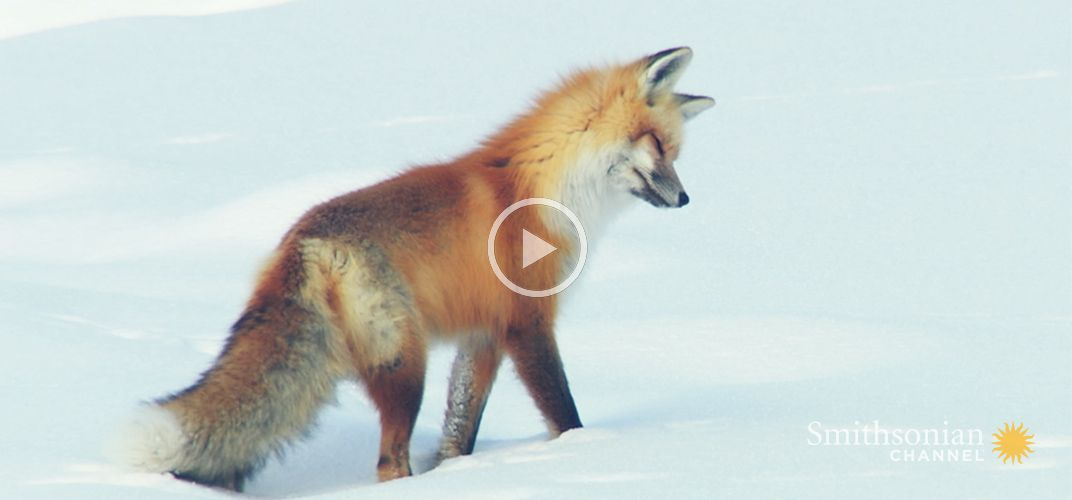 Caption: Red Fox Hilariously Pounces Headfirst Into Snow