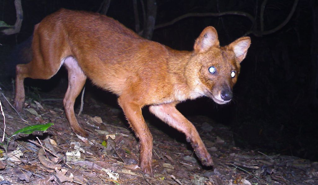 A camera trap snaps a photo of a dhole in Laos.