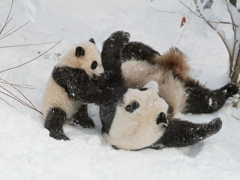 Tai Shan and Mei Xiang