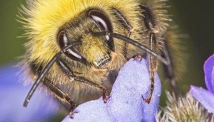 These Scientists Are Using Bees to Spread Pesticides