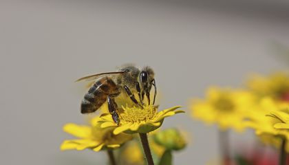 Fewer Honeybees Died Last Year, But Not Enough to Save Them