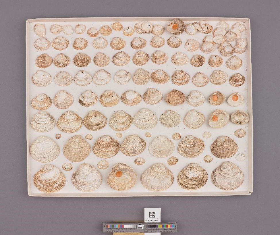 Box of white and cream colored fossilized shells from the Cenozoic on a gray background