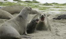 Elephant Seals Have Conquered a California Beach