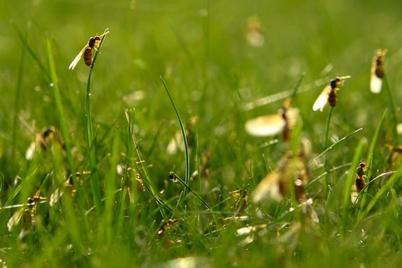Flying ants emerge from the grass.